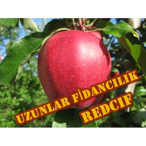RED CHİEF ELMA FİDANI TÜPLÜ 2,3 YAŞ,